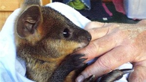 wallaby cpr